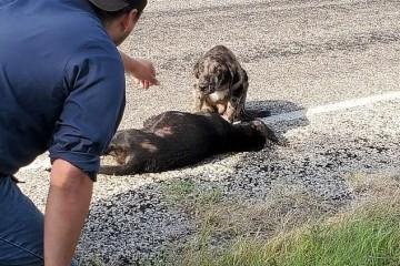 令人心碎的一幕美国公路旁一只小狗看护在另一只死狗周围迟迟不肯脱离