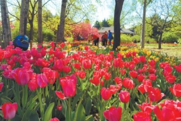 植物园20万株郁金香进入最佳观赏期